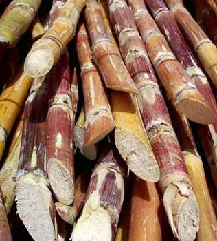 Cut Brazilian Sugar Cane