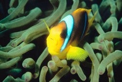 A clownfish? What? No, I'm totally an anemone tentacle.
