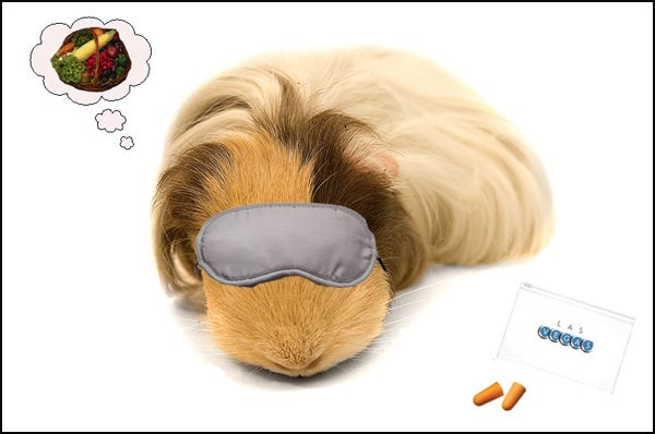 guinea pig sleeping
