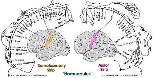 The sections of the brain that correspond to our sense of touch.