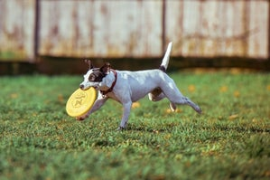dog with a frisbee