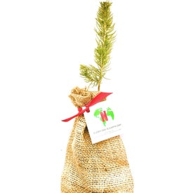Colorado Blue Spruce Tree Seedlings in Burlap Bag